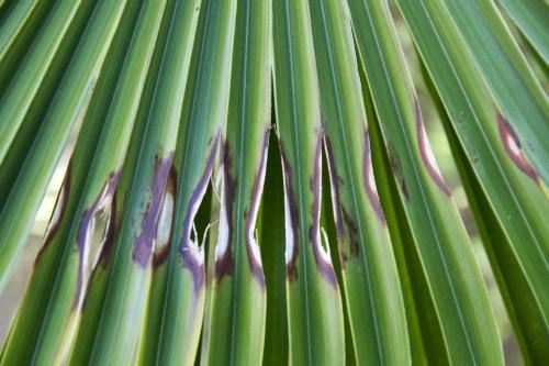 palmiers3
