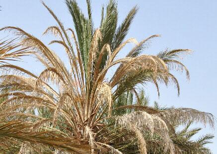 palmiers7